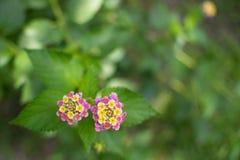 Camara del Lantana, flor colorida del seto Imagen de archivo