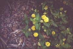 Camara del Lantana, flor colorida del seto Fotografía de archivo libre de regalías