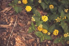 Camara del Lantana, flor colorida del seto Foto de archivo libre de regalías