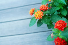 Camara do Lantana Fotografia de Stock Royalty Free