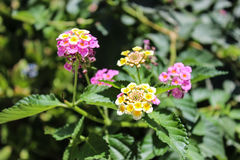 Camara do Lantana das flores Foto de Stock Royalty Free
