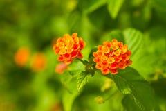 Camara Flower Royalty Free Stock Image