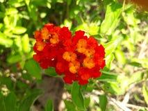 Camara Lantana или флаг испанского языка цветок стоковая фотография
