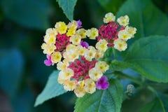Camara Lantana, также известное как крупно-шалфей Малайзия, одичал-шалфей, красно-шалфей, бело-шалфей - тропический цветок стоковое фото rf