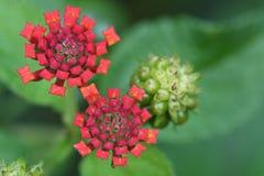 Camara vermelho do lantana da flor Imagens de Stock Royalty Free