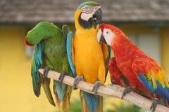 Camaradas dos papagaios Fotografia de Stock