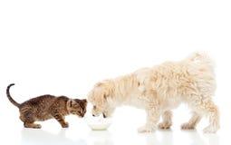 Camaradas na bacia de alimentação - comer do cão e do gato Imagem de Stock Royalty Free