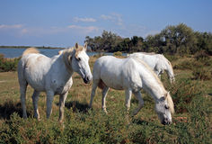 Camargan horses, Salin de Giraud, Bouche-du-Rhône, France. Royalty Free Stock Photo