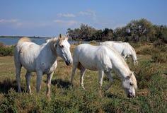 Camargan horses, Salin de Giraud, Bouche-du-Rhône, France. Located South of Arles Commune, along the 'Conservatoire du littoral' (Coastal Conservatory) Royalty Free Stock Photo