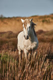 Camargue一匹白色公马  免版税图库摄影