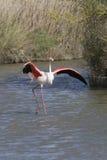 Camargue法国更加伟大的火鸟  免版税库存照片