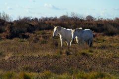 Camargue的白马,南法国 库存图片