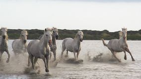 Camargue马,疾驰通过沼泽, Saintes玛里de在法国的南部的la梅尔的牧群, 影视素材