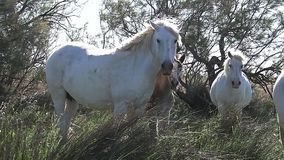 Camargue马,站立在高草, Saintes玛里de在法国的南部的la梅尔的牧群, 股票录像