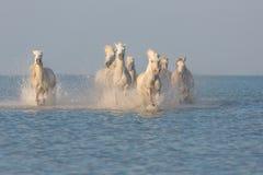 Camargue, άγρια άλογα Στοκ Φωτογραφία
