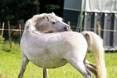 camargue άλογο Στοκ φωτογραφία με δικαίωμα ελεύθερης χρήσης
