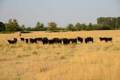camargue быков Стоковое фото RF
