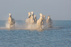 Camargue, дикие лошади Стоковая Фотография