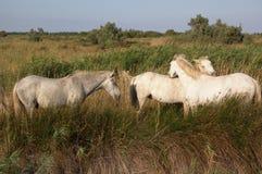 camargue пася лошадей белых Стоковые Фото