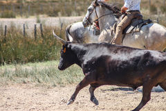 Camargue黑色公牛 免版税库存照片