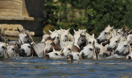 camargue άλογα κοπαδιών Στοκ Εικόνα