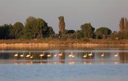 фламингоы camargue Стоковое фото RF