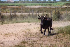 Camargue black bull Stock Images