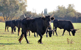 Camargue bulls Stock Photos