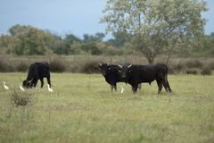 Camargue bulls Royalty Free Stock Images