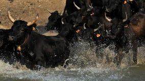 Camargue bulls, Bos taurus, Petite Camargue, Gard, France. Bulls crossing a river. The traditional horse riders following on camar