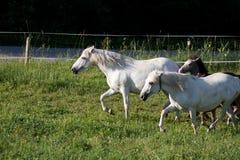 Camargue-caballos con los potros Imagen de archivo