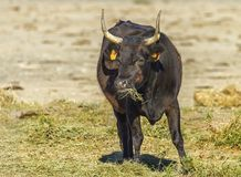Camargue cattle breed Stock Photos