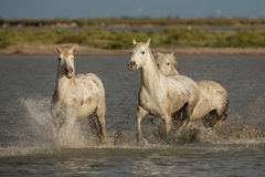Camargue chargers royalty free stock images