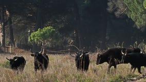 Camargue bulls, Camargue, Gard, France