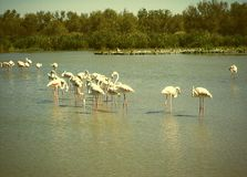 Camargue de Fenicotteri Photo stock