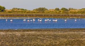 camargue flamingi Zdjęcie Stock