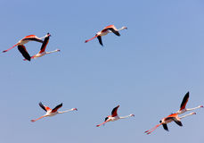 camargue flamingi Obrazy Royalty Free