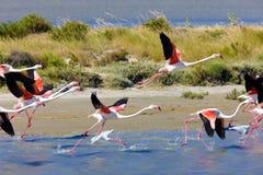 camargue flamingi Zdjęcia Royalty Free