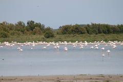 camargue flamingi France Zdjęcie Royalty Free