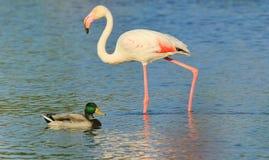 Camargue Flamingo And Duck Royalty Free Stock Photos