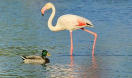 Camargue flamingo and duck Royalty Free Stock Photos