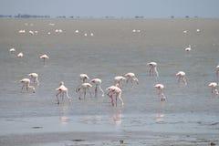 Camargue Flamingos Stock Photos
