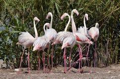 Camargue Flamingos Stock Image