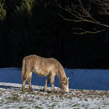 Camargue foal. Grasing in the winter sun Royalty Free Stock Photo