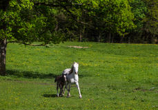 Camargue foal and mare Royalty Free Stock Images