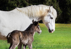 Camargue foal with mare Royalty Free Stock Images
