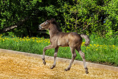 Camargue foal Stock Image