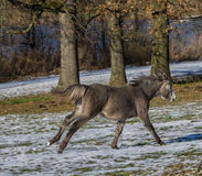 Camargue foal. Is running along the trees Royalty Free Stock Photos