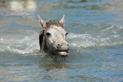 Camargue foal in the water. Cute Camargue foal in the river swimming royalty free stock image