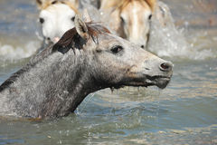 Camargue foal in the water. Cute Camargue foal in the river swimming stock photo